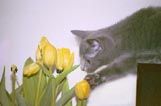 Playing with tulips